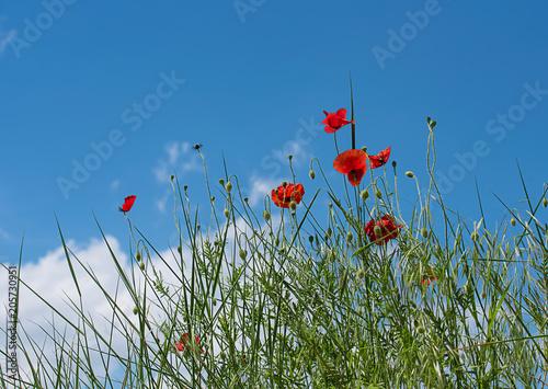 Fototapeta Red poppy flowers