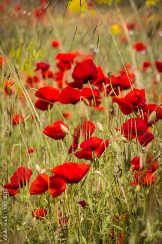 Plexiglas Klaprozen poppies in close up