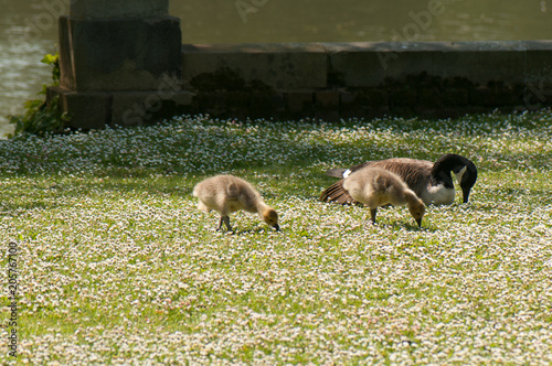 Foto Murales Canada geese and goslings