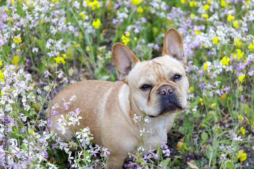 Fotobehang Franse bulldog French Bulldog in Bloom in Northern California. Frenchie sitting in a meadow full of wildflowers in Pescadero, San Mateo County, California, USA.