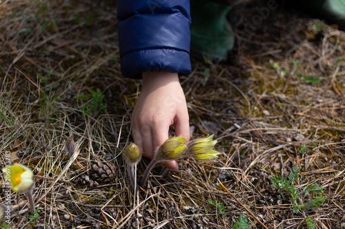 Fototapeta Child pick snowdrop flower