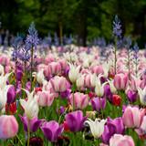 Tulpenpracht - 205787196