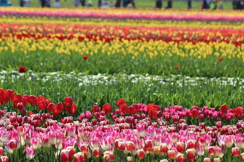 Fotobehang Tulpen Tulip Time