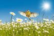 Leinwanddruck Bild - Blaumeise fliegt über leuchtend bunte Margeriten Blumenwiese unter einem perfekten blauen Himmel im warmen Sonnenlicht