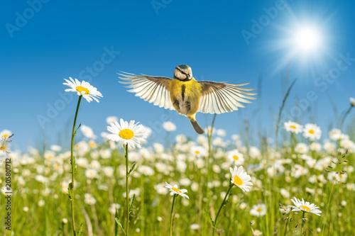 Leinwanddruck Bild Blaumeise fliegt über leuchtend bunte Margeriten Blumenwiese unter einem perfekten blauen Himmel im warmen Sonnenlicht