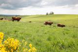 Troupeau de vaches dans une prairie - 205802344