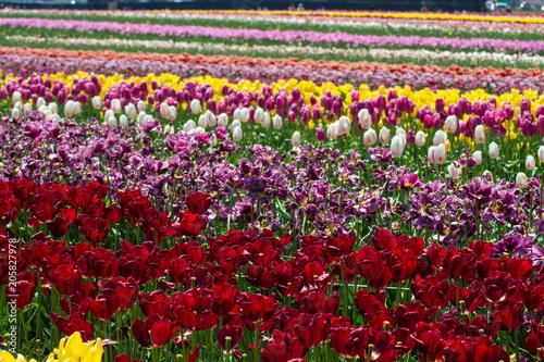 Fotobehang Tulpen Rows of Multicolored Tulips in a Field