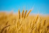 closeup golden wheat field on a blue sky background - 205843120