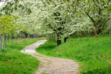 Park trail between blooming cherry trees in spring. Park with flowering trees and green grass.