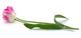 Closeup of Tulip - 205851939
