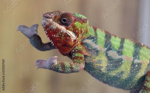 Fotobehang Kameleon Reptile chameleons and acres