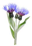 Blue flowers and bud of garden spring  cornflower plant.