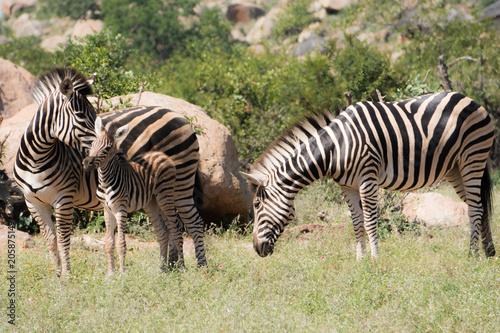 Fototapeta Zebra with calf and bull