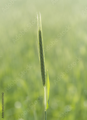 Fotobehang Rijstvelden Green Rice Field with white sky background