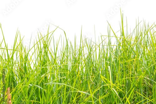 herbe verte, fond blanc © Unclesam