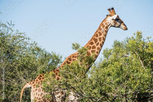 Poster Giraffe in all its glory