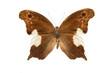 butterfly Neorina lowii