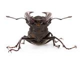 beetle deer isolated