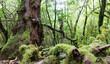 Leinwanddruck Bild - La Gomera: Fruchtbarer, grüner, feuchter Nebelwald mit Bäumen, Farnen und Moos :)