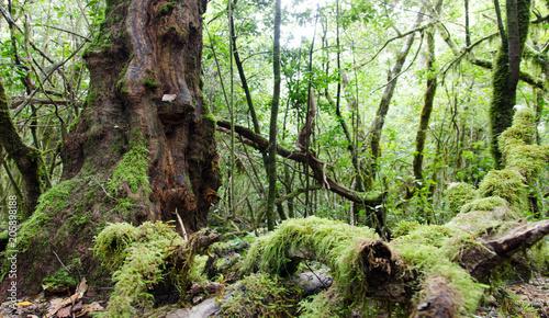 Leinwanddruck Bild La Gomera: Fruchtbarer, grüner, feuchter Nebelwald mit Bäumen, Farnen und Moos :)