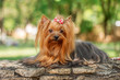 yorkshire terrier dog beautiful spring  portrait