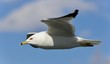 Isolated photo of a gull flying in the sky