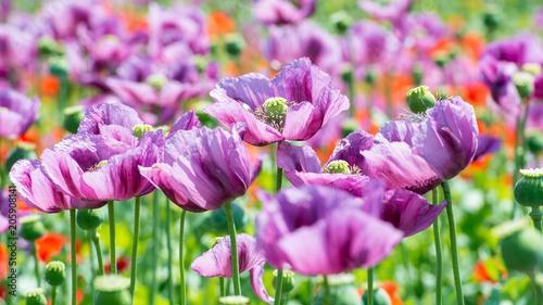 Fototapeta field of lila poppy blossoms - opium poppy - papaver somniferum