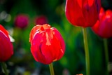 the fine blossoming red tulip