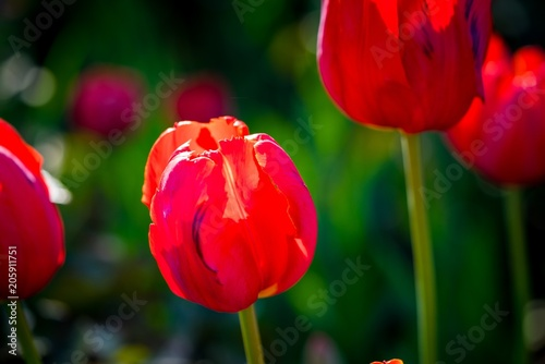 Poster the fine blossoming red tulip