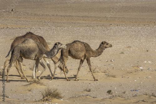 Fotobehang Kameel Camels in Sahara desert, Algeria