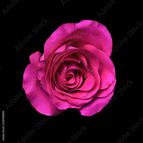 Foto Murales pink rose flower on black background