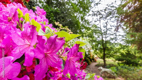 Panorama or web banner with pink azalea flower on a green tree background - 205919137