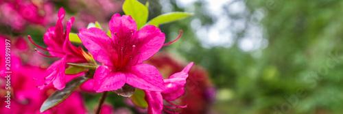 In de dag Azalea Panorama or web banner with pink azalea flower on a green tree background