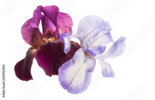 Aluminium Iris iris flower isolated