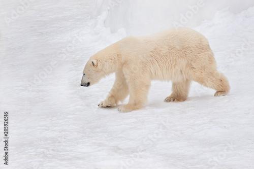 Aluminium Ijsbeer Large arctic bear is walking on white snow. Animals in wildlife.