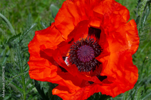 Fotobehang Rood traf. fresh beautiful red poppies on green field