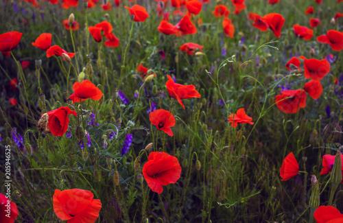 Fototapeta wild poppy flower at sunset