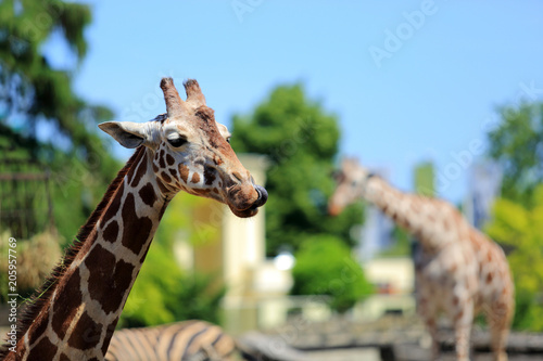 Żyrafa z językiem na wierzchu, oblizuje się.