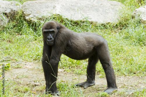 mata magnetyczna Great chimpanzee