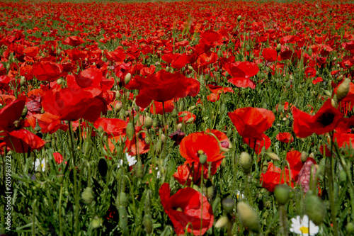 Plexiglas Klaprozen Little Daisy Among a Brilliant Field of Red Poppies and Green leaves