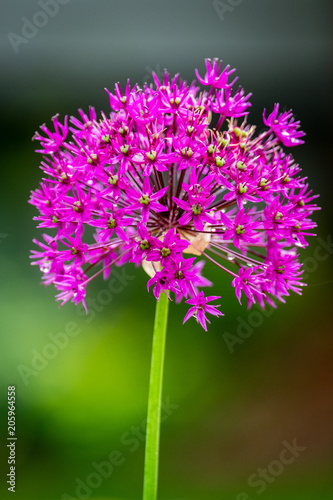 Poster Bright purple flowers against a blurred background
