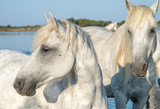 White stallions in the Camargue region of France - 205970901