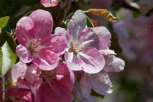 Fotobehang Crimson Pink cherry sakura blossom and blue sky. Spring