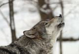 Gray wolf howling in the snow