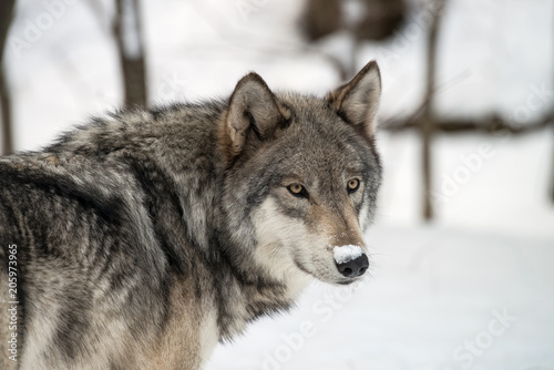 Fotobehang Wolf Gray wolf in the snow