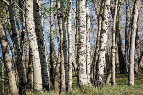 Aluminium Berkenbos Grove of Birch Trees in the spring; fresh green leaves on a forest of birch trees