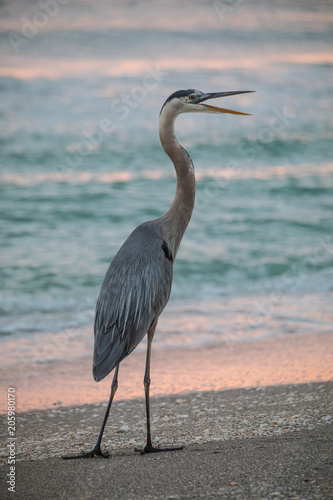 Fotobehang Strand Great Blue Heron at Sundown by the beach