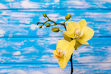 Branch of a yellow orchid lies on a blue wooden background
