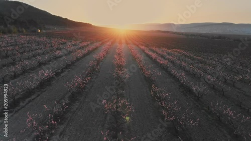 Aerial sunrise view of a blossoming of fruit trees in a field. Peach garden nature landscape.