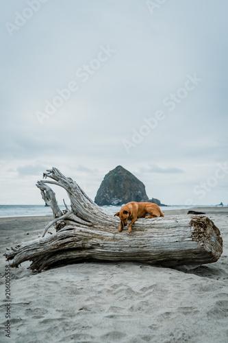 Foto Murales cannon beach oregon dog